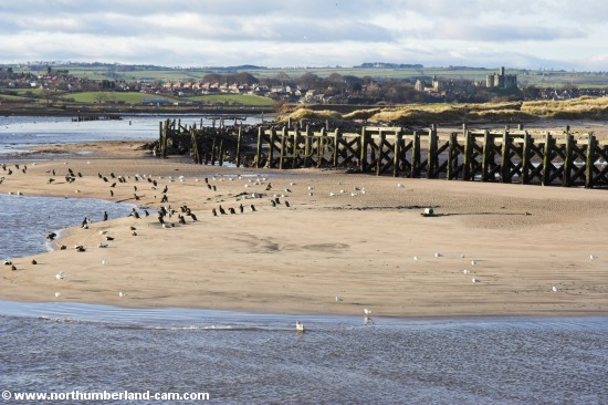 On the north side of the River Coquet sands are exposed at low tide. They are heavily used by Gulls and Cormorants.